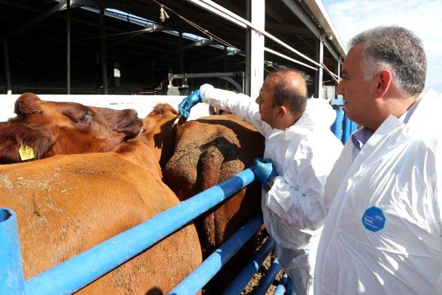Aksaray'da hayvanlara şap aşılama çalışması başladı