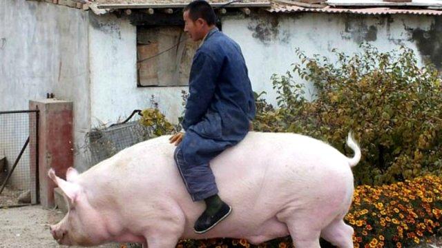 Çin et talebini karşılamak için ayı büyüklüğünde